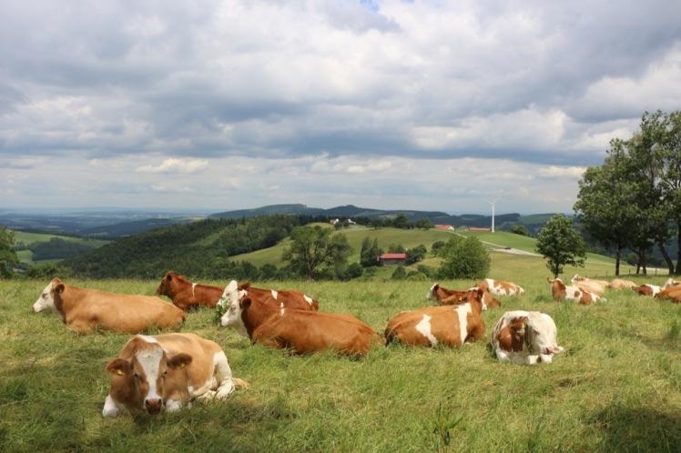 17 friedliche Kühe