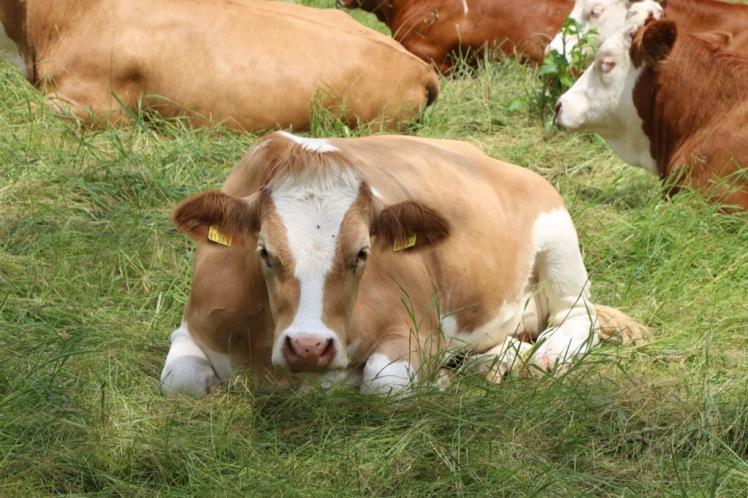 18 gewaltbereite Kuh