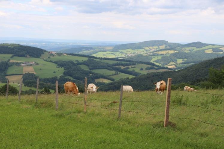 29 Kühe und Landschaft