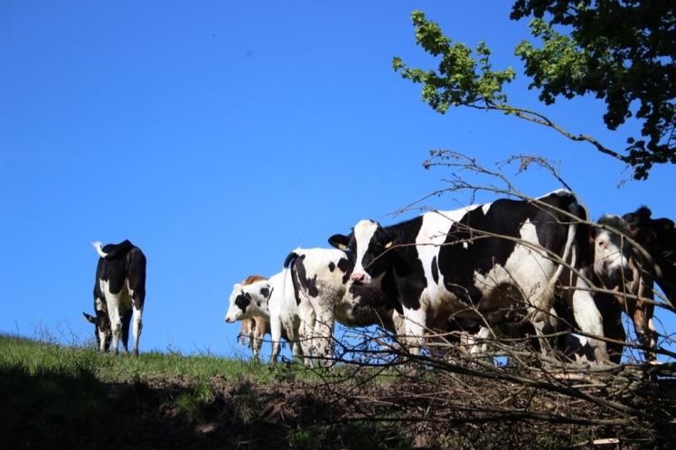 48 lauernde Kühe
