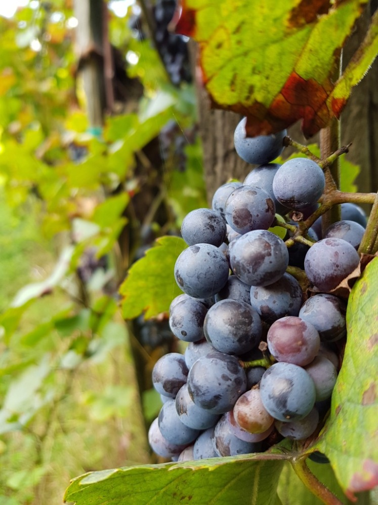 53 blaue Trauben bei Sooß 3