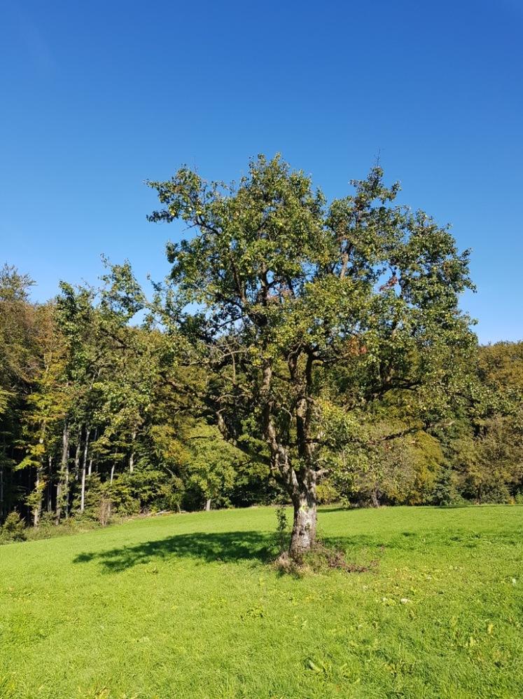 08 Wiese mit Birnbaum und Pfeil (statt Fichte)