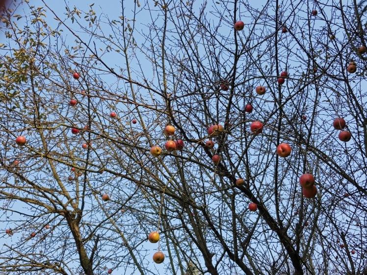 31 spätherbstlicher Apfelbaum 2