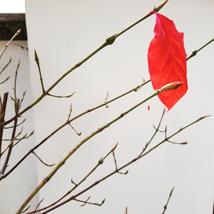 36 einzelnes rotes Herbstblatt bearbeitet