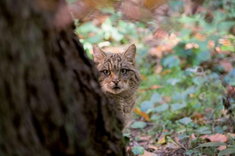 Wildkatze-hinterm-Baum_BR_NPThayatal_D-Manhart