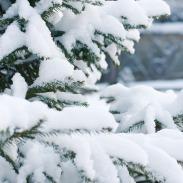 spruce-1848543_1280