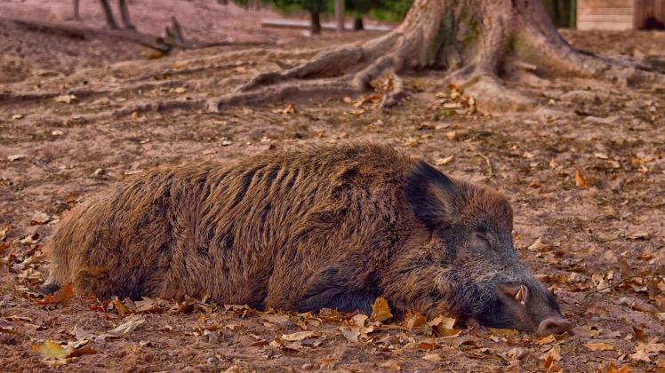 wild-boar-3635108_1280