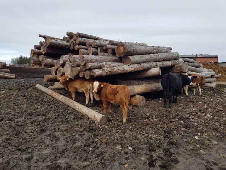 07 Holzstoß mit Kühen_Hochroterd