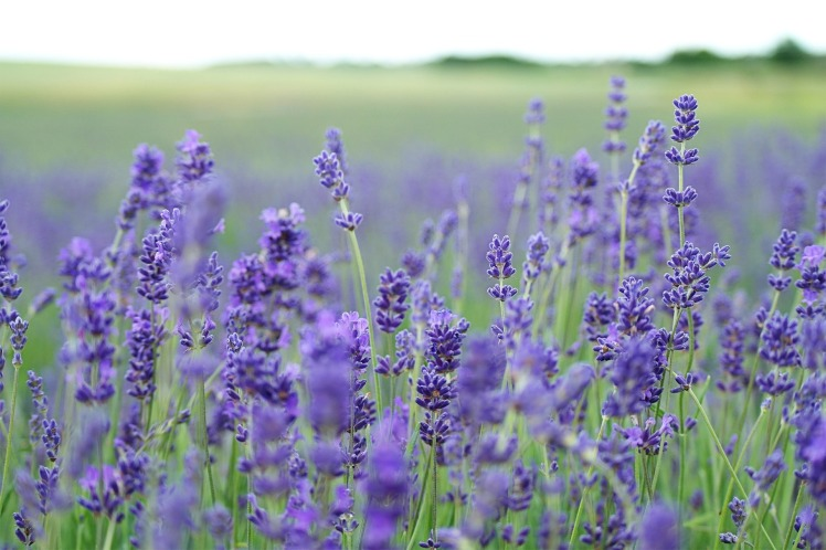lavender-field-1031258_1920.jpg