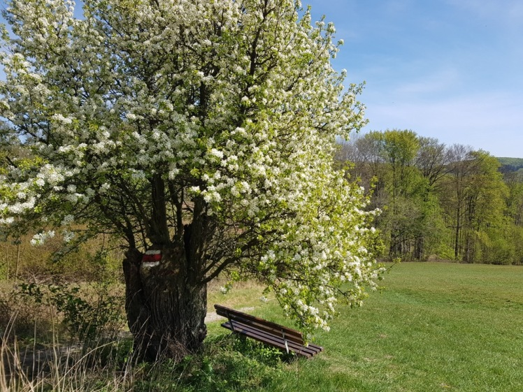 13 blühender Baum am Pfalzberg 5